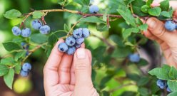 Blueberry Picking Feature Images